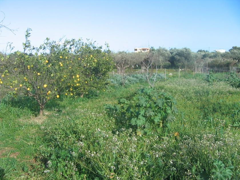 Αγροτεμάχια 1.541τ.μ. πρoς αγορά-Ακρωτήρι » Αρώνι