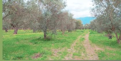 Αγροτεμάχια 6.000τ.μ. πρoς αγορά-Ιθώμης