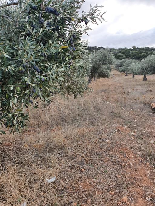 Αγροτεμάχια 1.653 τ.μ. πρoς ενοικίαση, Αθήνα - Ανατολικά Προάστια, Κορωπί-thumb-3