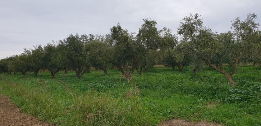 Αγροτεμάχια 13.150τ.μ. πρoς αγορά-Περιοχη χώρας » Καλπάκι