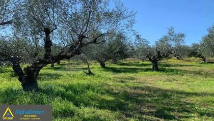 Αγροτεμάχια 13.000τ.μ. πρoς αγορά-Μεσσήνη » Κέντρο