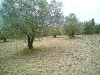 Αγροτεμάχια 4.000τ.μ. πρoς αγορά-Χαιρώνεια